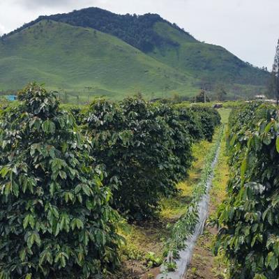 Sulawesi Toraja Grade 1