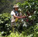 Tolima coffee is grown in 38 municipalities, with more than 61,538 families growing 108,141 hectares of Arabica coffee of the Castillo, Colombia, Caturra, Bourbon and Tab� varieties. Smallholder production ...