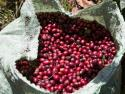Few economies in Central America are as inextricably linked to coffea Arabica as El Salvador. It was introduced in the last part of the 19th century and dominated the landscape. By the 1970s, El Salvador ...