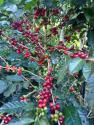 This wonderful coffee is a newbie in the offerings, and happy to see  such strong seasonal (Aug-Sept �13 harvest) South American coffees flowing. The  mountainous Amazonas region of NW Peru is predominantly ...